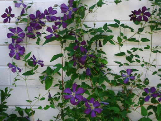 clematis viticella hybrids planting growing and. Black Bedroom Furniture Sets. Home Design Ideas