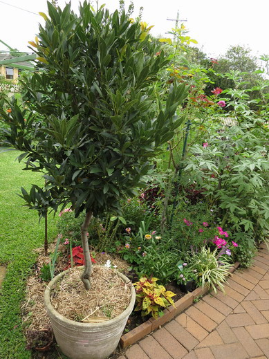laurus nobilis planting growing and propagating information from igarden