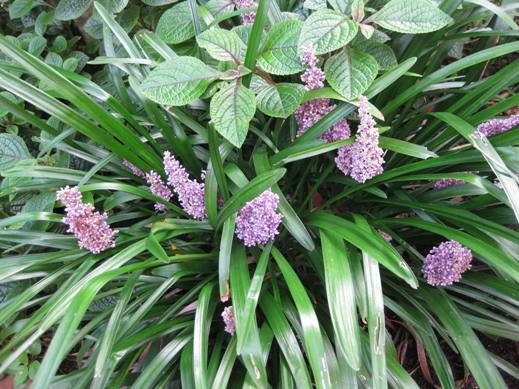 Liriope Muscari Planting Growing And Propagating Information From