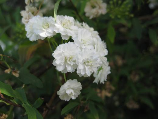 Spiraea cantoniensis planting growing and propagating information spiraea cantoniensis mightylinksfo